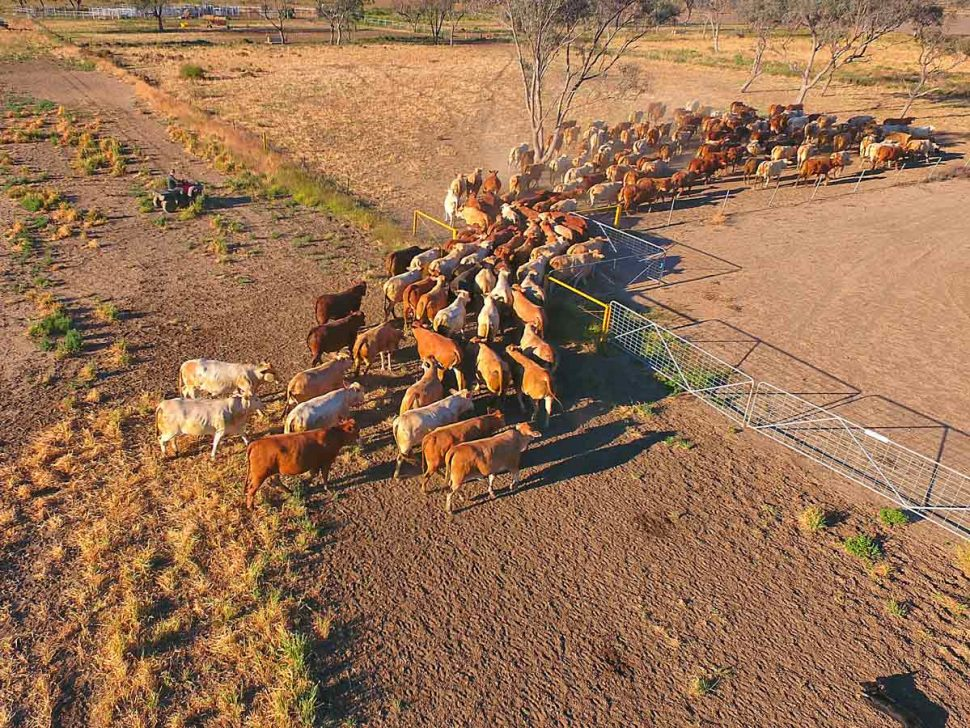 Cattle Being Herded Through Fence