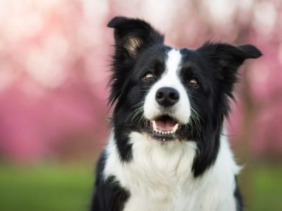 Top 5 Dog Breeds for Aussie Farmers