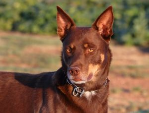 Brown Kelpie In Sunlight