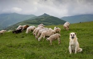 Anatolian Shepherd Guards Sheep