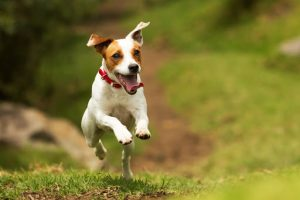 Jack Russell Terrier Jumps On Grass