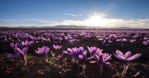 Fields Of Saffron