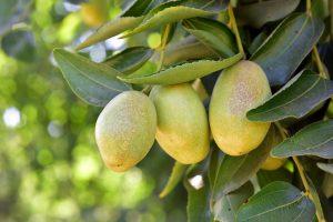 Jojoba Fruits On Vine