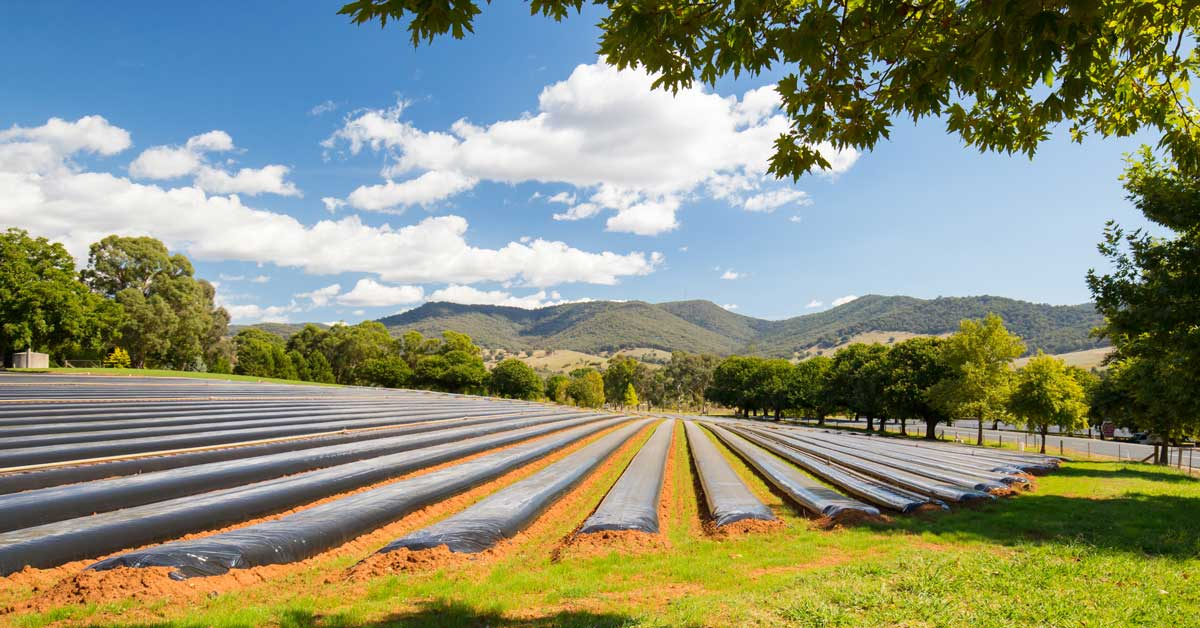 Australian strawberry farm technology, trends shaping Australian agriculture