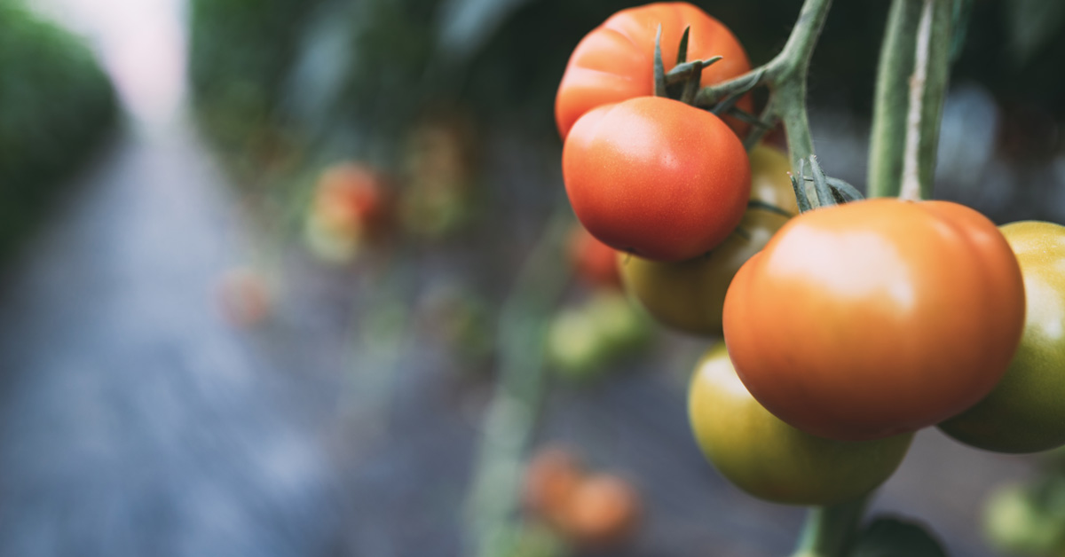 healthy tomatoes on a farm trends shaping Australian agriculture