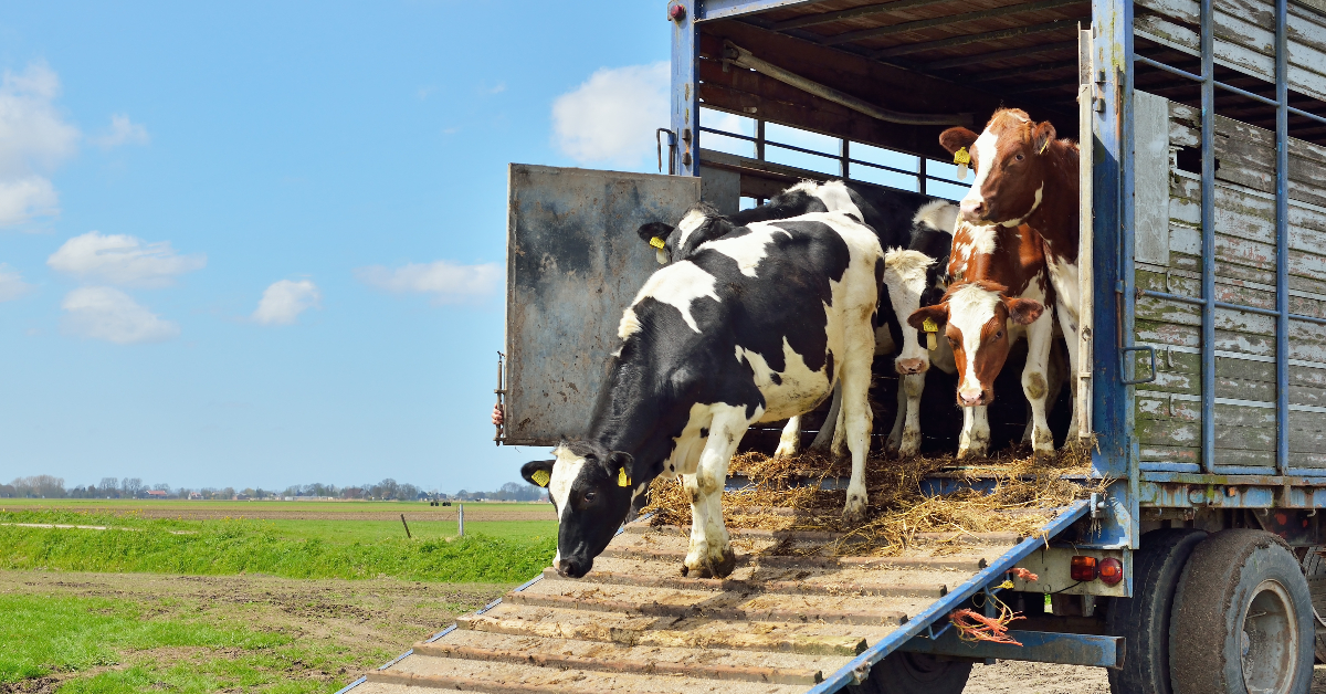 """alt=""""Cattle stepping out of transport truck"""""""