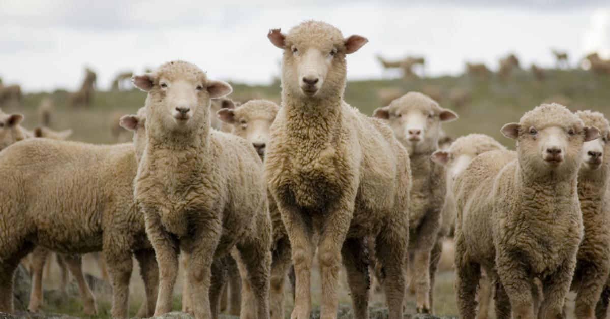 """alt=""""herd of sheep"""""""