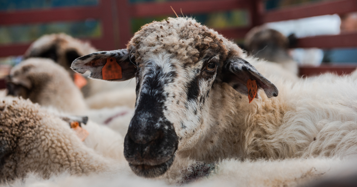 """alt=""""A herd of sheep in a corral"""""""