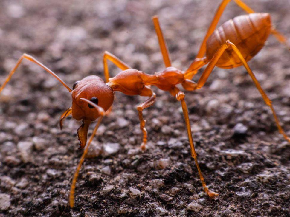 fire ant biosecurity zones queensland