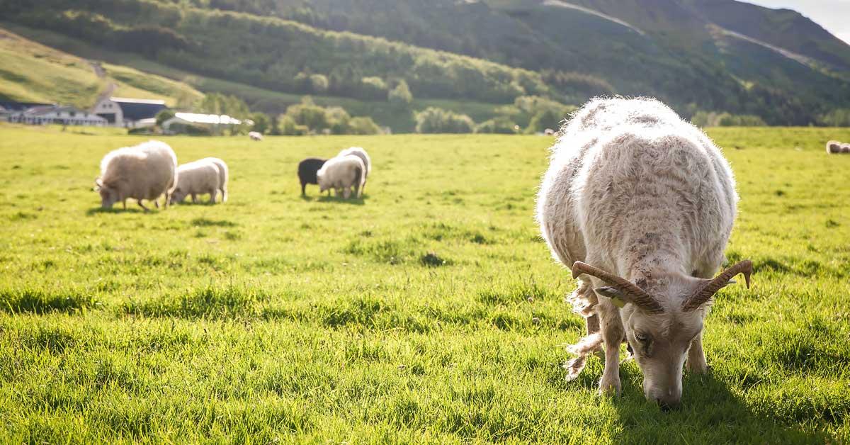 rotational grazing, goat grazing